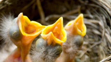 jonge vogels in nest