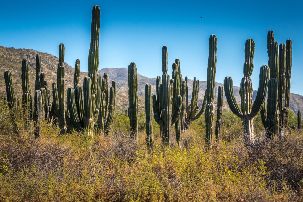 Pachycereus Pringlei cactussen in vol ornaat
