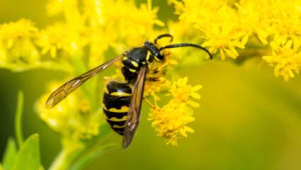 wespen zijn ook nuttig