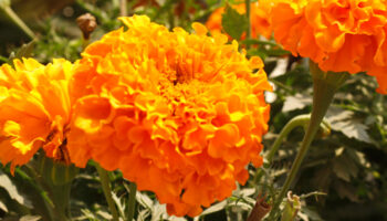 nuttige bloemen, Afrikaantjes