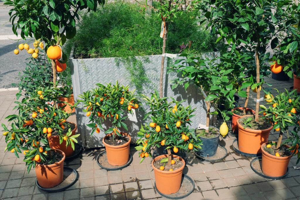 citrusplanten