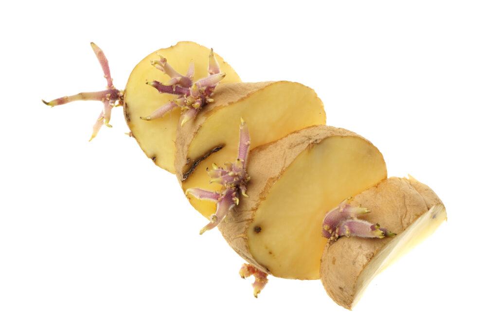 aardappel hergroeien