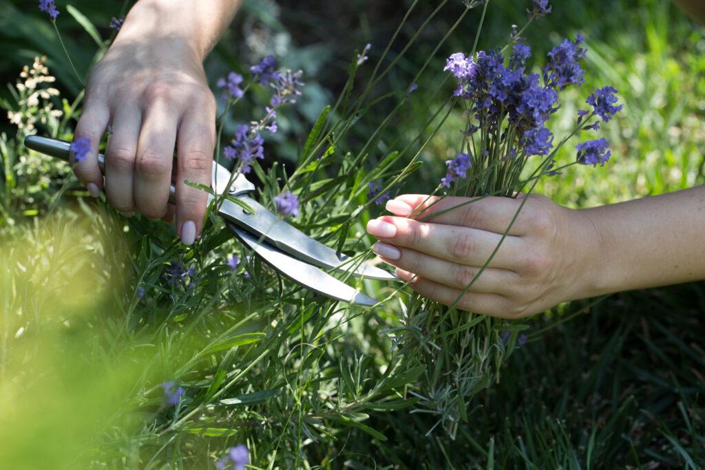 najaarssnoei lavendel