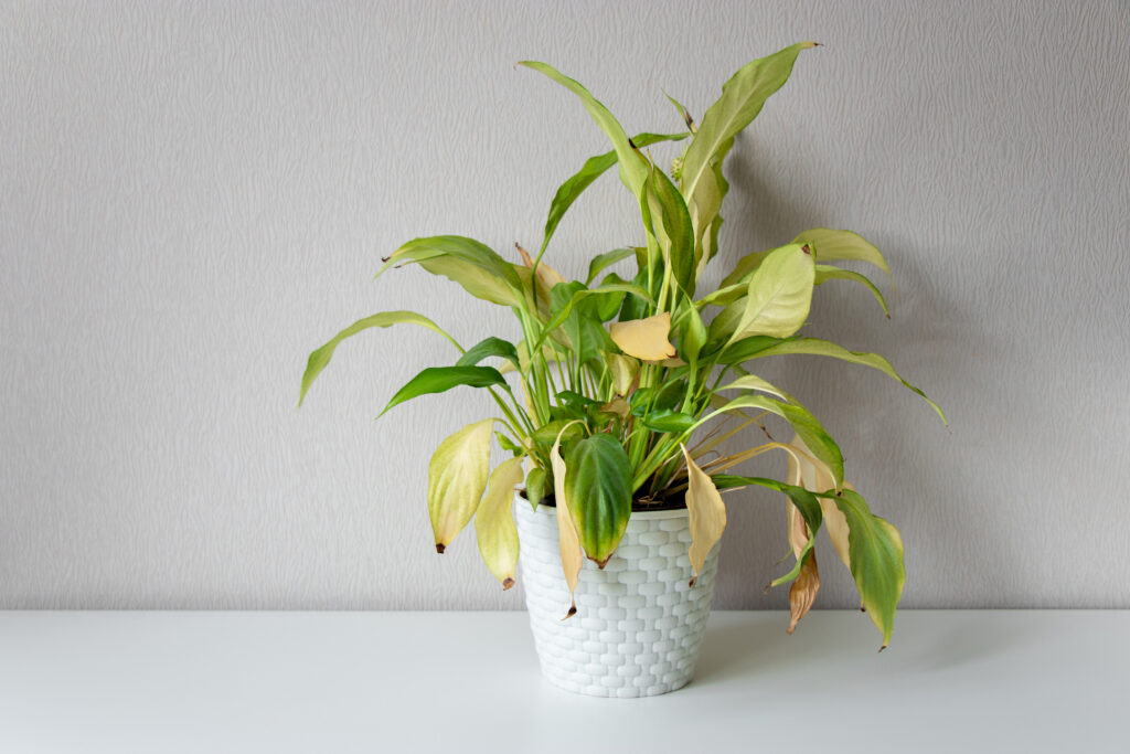lepelplant (Spatiphylum)