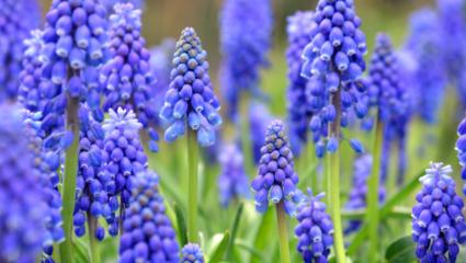 blauwe druifjes puzzel