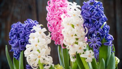 hyacint puzzel