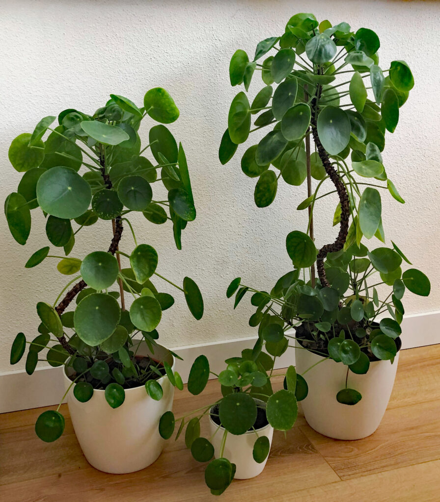 pannenkoekplanten met stam