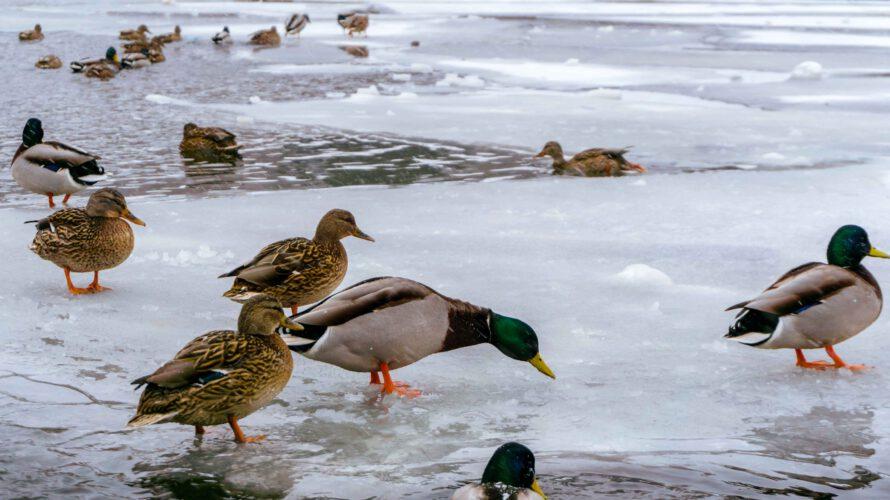 watervogels winter