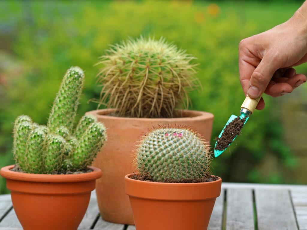 cactus verpotten