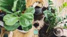 Kamerplanten verpotten