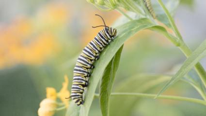 monarch rups puzzel