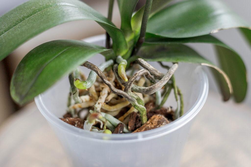 Phalaenopsis verpotten