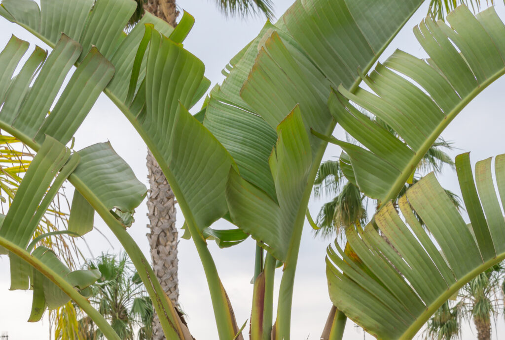 Strelitzia nicolai blad