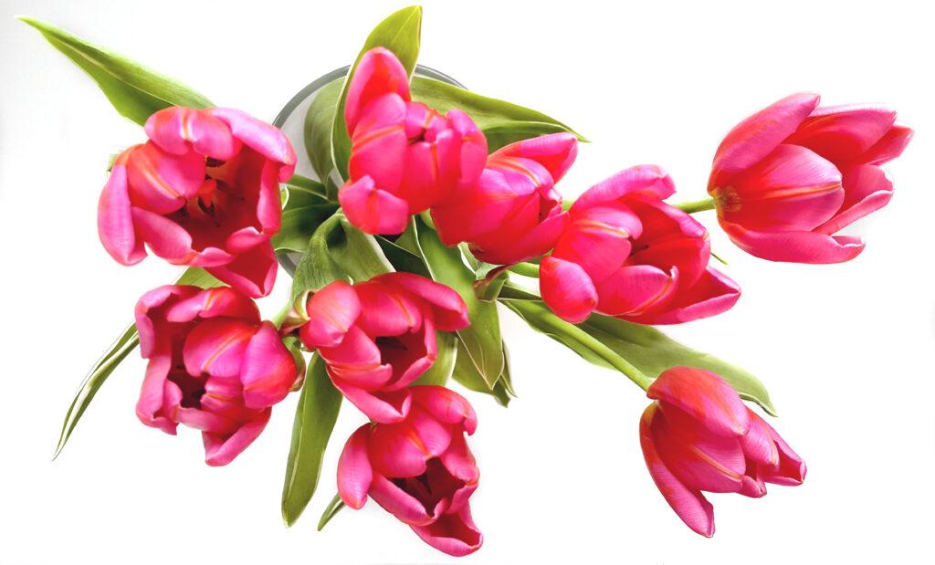 tulpen bloeiend