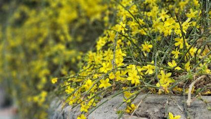 klimplanten winterjasmijn