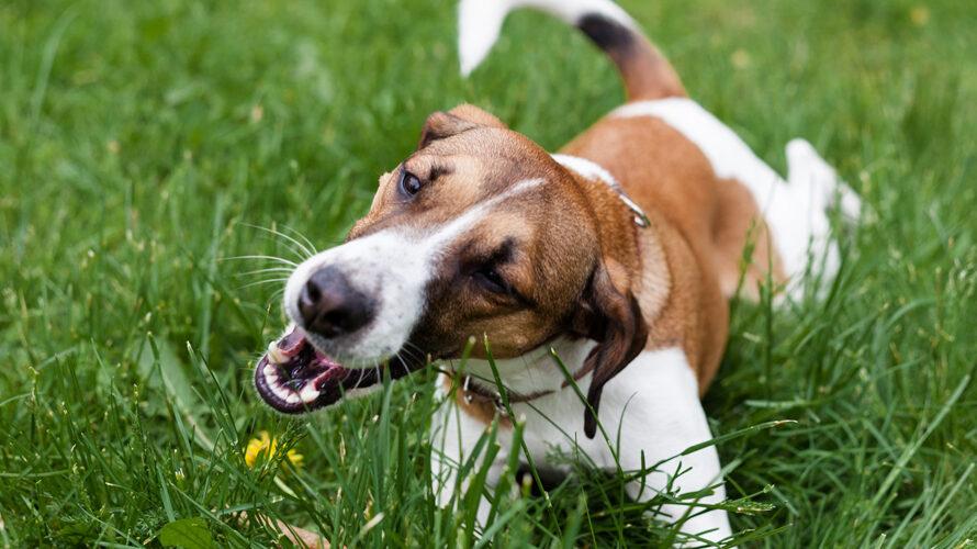 Honden eten gras