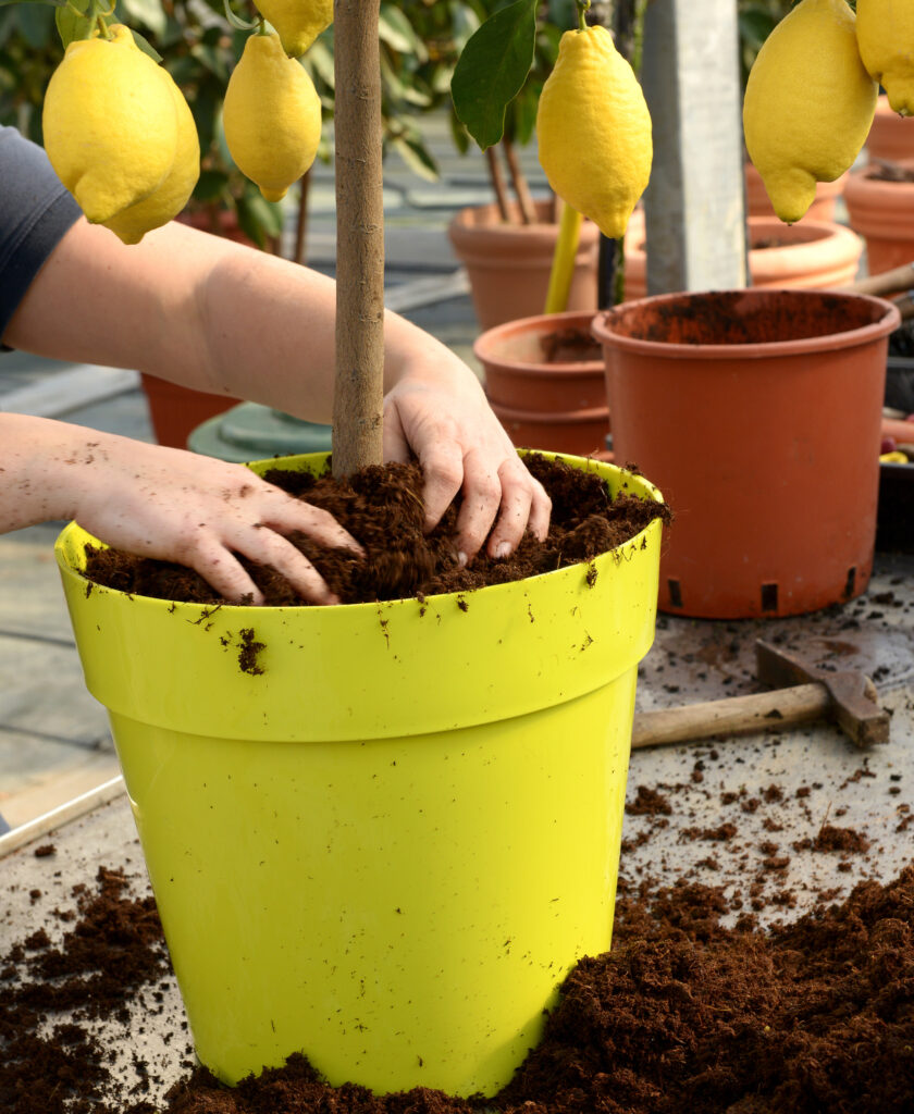 citrusboompjes verpotten