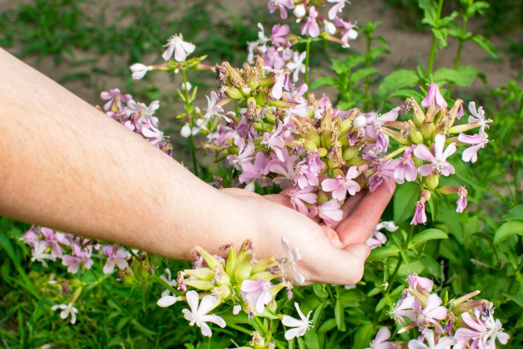 Zeepkruid, , inheemse plant