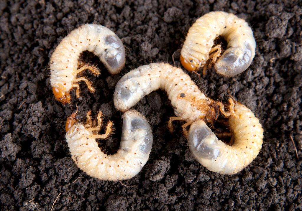 engerling larven