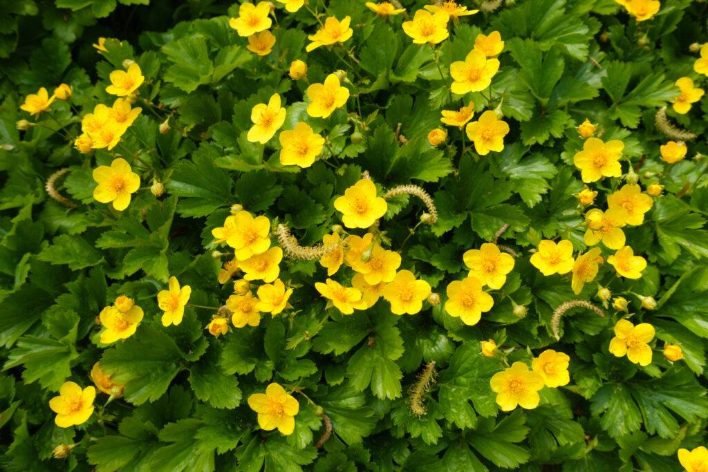 bodembedekkers Waldsteinia ternata