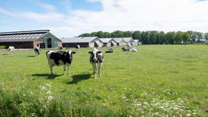 puzzel koeien
