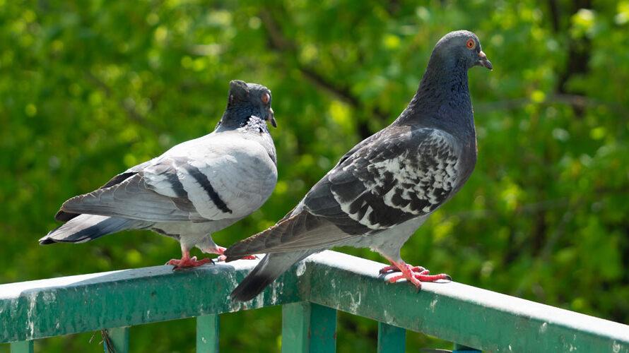 duiven weren