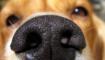 natte neus hond