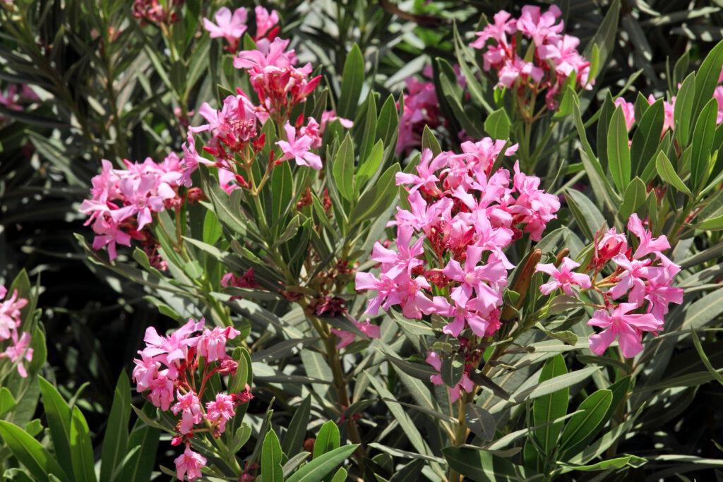 zonnigste Nerium oleander